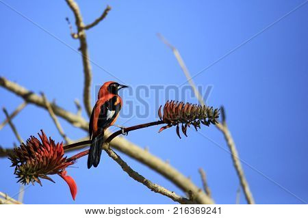 Orange-backed Troupial on a Branch. Pantanal Brazil