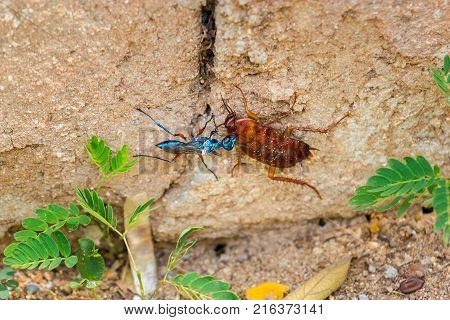 The emerald cockroach wasp or jewel wasp is a solitary wasp. It is known for its unusual reproductive behavior, which involves stinging a cockroach and using it as a host for its larvae as shown here.