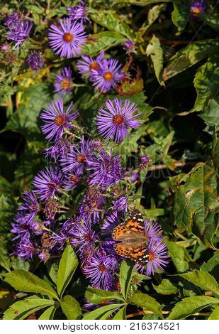 Painted Lady Butterfly shot in an unusually hot September in Montreal Canada while on its migration south to Mexico. The Butterfly is shown feeding on New England Asters growing wild in Montreal.