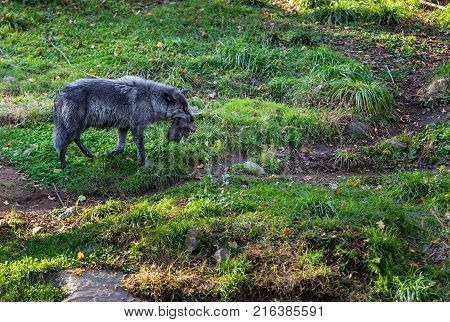 Black wolf shot in north Quebec Canada in autumn carrying a freshly killed muskrat .