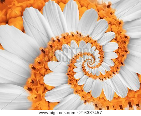 White orange camomile daisy cosmos kosmeya flower spiral abstract fractal effect pattern background White flower spiral abstract pattern fractal Incredible floral twirl pattern round circle background. Flower swirl
