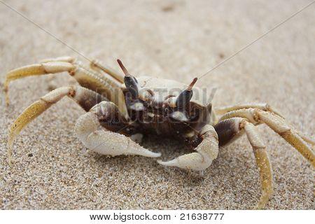 White Sand Crab