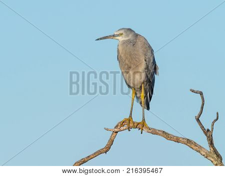 A White-Faced Heron perched on a dead tree at Herdsman Lake in Perth, Western Australia.