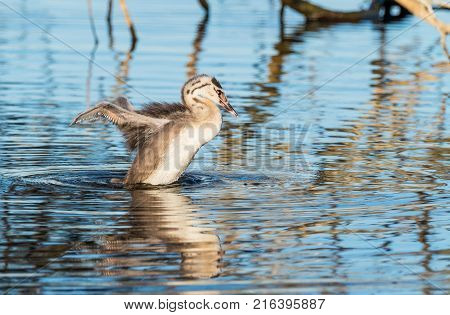A young Great Crested Grebe (Podiceps cristatus) sppreading its wings at Herdsman Lake in Perth, Western Australia.