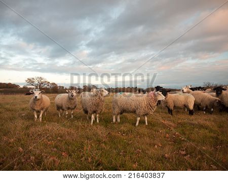 Farmland Close Up White Sheep Farm Grass Grazing Standing Animals