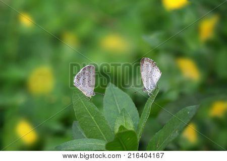 Two Butterflies Zizina otis indica/Lesser Grass Blue sits on the yellow flower (Arachis pintoi)