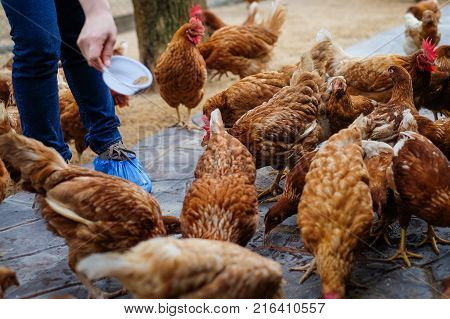 Farmer holding animal feed in white bowl for many chicken (hen) on vintage floor for animal background or texture - chicken farm business concept.