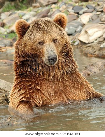 A capture of A Grizzly