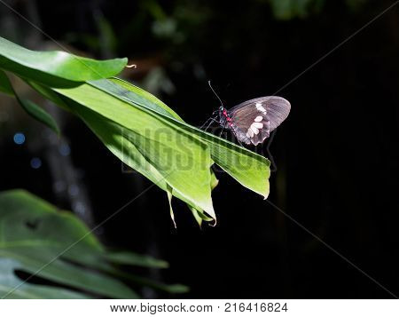 Butterfly Great Mormon sitting on a green leaf