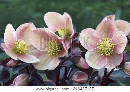 Lenten rose (Helleborus x hybridus). Close up image of flowers