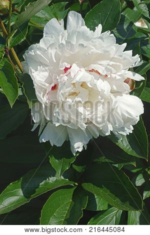 Festiva Maxima peony (Paeonia lactiflora Festiva Maxima). Close up image of flower