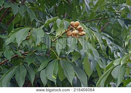 Yellow buckeye (Aesculus flava). Called Sweet buckeye also. Image of fruits and foliage