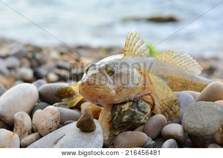 Black Sea goby on the beach near the water
