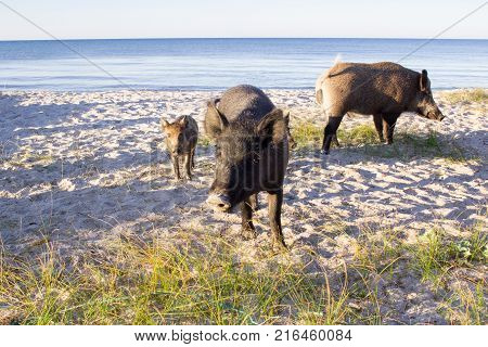 Wild Pigs Family Walk On Sea Beach Sands, Read Sign