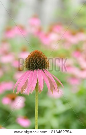 closeup of purple cone flower in the garden