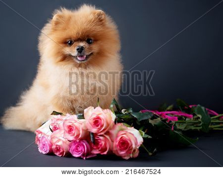 Pomeranian dog with purple roses on dark background. Portrait of a dog in a low key. Dog with flowers
