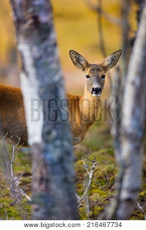 One cute roe deer in the forest a evening at fall. Capreolus capreolus, walking in the woods.