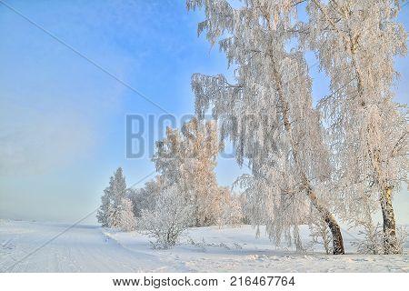 Birche trees in hoarfrost gentle morning light frosty foggy sunrise - beautiful winter landscape