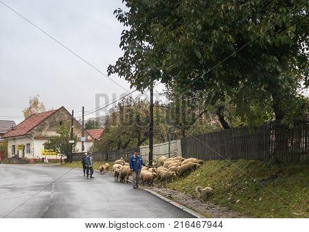 Bran Romania October 09 2017 : Shepherd grazes sheep on the periphery of Bran in Romania