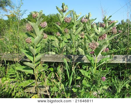 Prarie Milkweed against wooden fence and blue sky background