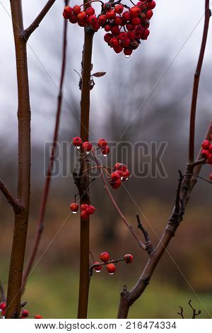 Berries of red mountain ash close-up with drooping drops. Late fall.