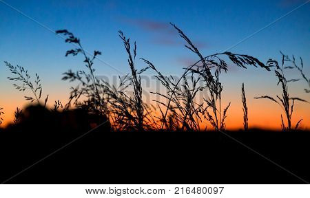 Silhouette of a field of corn at sunset. Rural farm land in the end of evening. The corn contrast strongly with the sky orange and blue of the dusk.