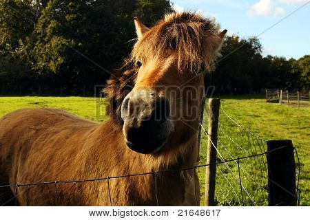 brown young horse muzzle close up outdoor poster