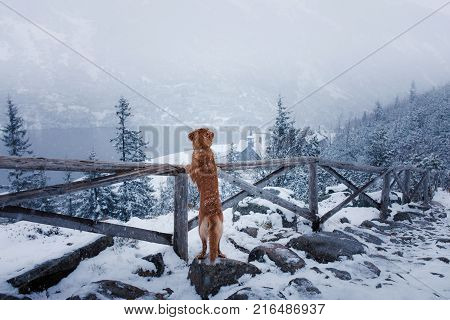 The Nova Scotia Duck Tolling Retriever Dog In Winter Mountains