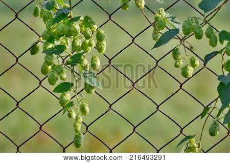 Hops is a plant family of hemp family Czech Republic
