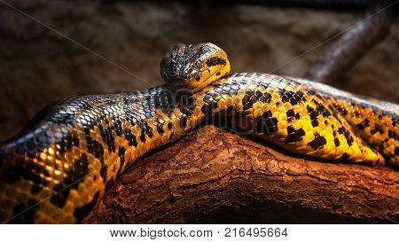 Yellow anaconda stays on the tree trunk - Close up animal portrait