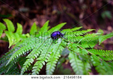Rhinoceros beetle - Arthropoda on fern leaf in rainforest.