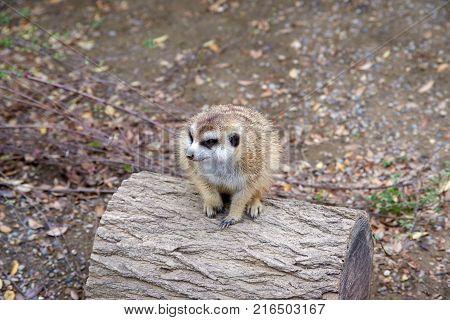 Cute meerkat sitting on small log in dirt