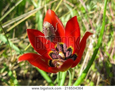 Insect Eurydema ornatum in a tulip Tulipa agenensis flower blooming