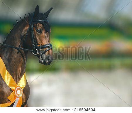 Dressage horse closeup. Bay horse portrait during dressage competition. Advanced dressage test.