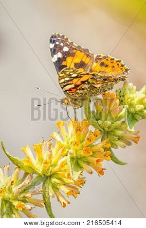 Painted lady butterfly on yellow flowers with blurred background