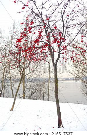 Rowanberry tree with red berries in winter park.