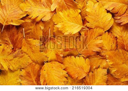 Background of yellow autumn hawthorn leaves close-up