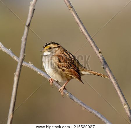 A White-Throated Sparrow (Zonotrichia albicollis) framed by bare branches, against a blurred drab background, facing left, in Gettysburg, Adams County, Pennsylvania USA.