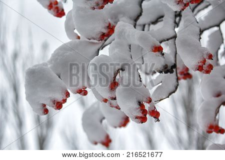 Berries of red mountain ash on branches covered with snow. Winter