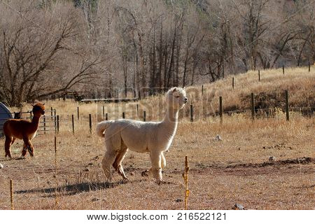 Alpacas enjoying sunshine at a ranch in Durango, CO