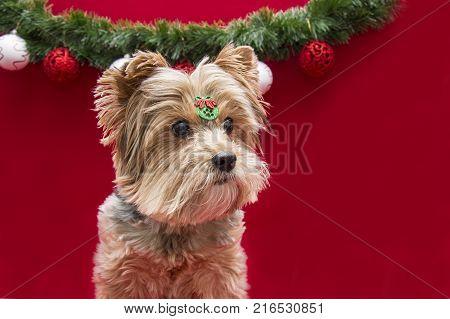 cute Yorkshire dog on christmas studio photoshoot