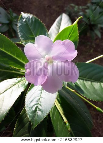 Closed-up picture of a lilac flower with green sheets