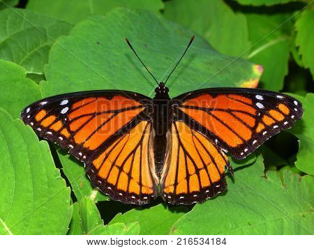 Viceroy Butterfly (Limenitis archippus) in a northern Illinois natural area