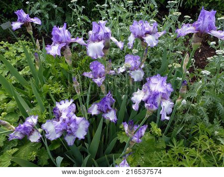 Many iris on the flower bed in the garden