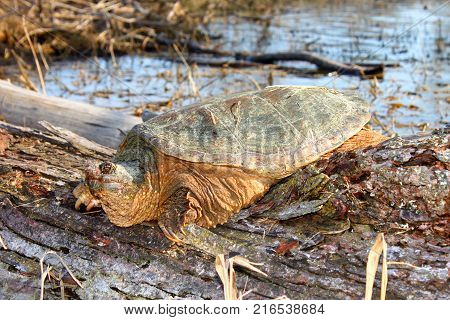 Basking Snapping Turtle (Chelydra serpentina) on a warm spring day near Rockford Illinois