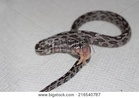 corn snake swallowing a pinkie mouse baby