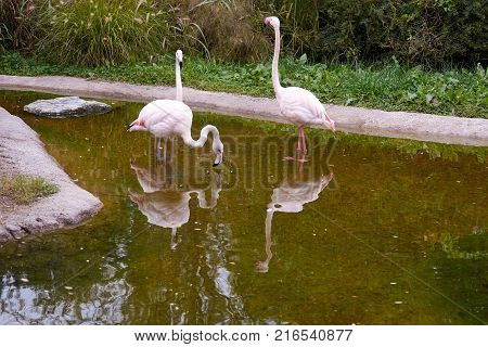 Pink flamingos drinking water in small pond