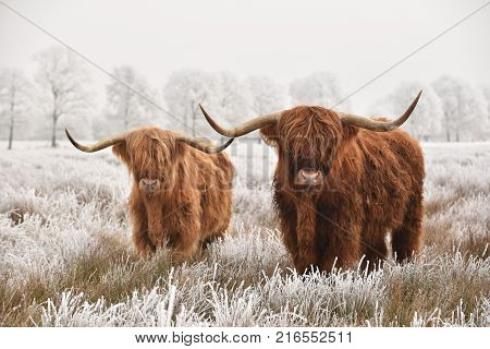 Couple of red brown Scottish highlanders in a natural winter landscape.