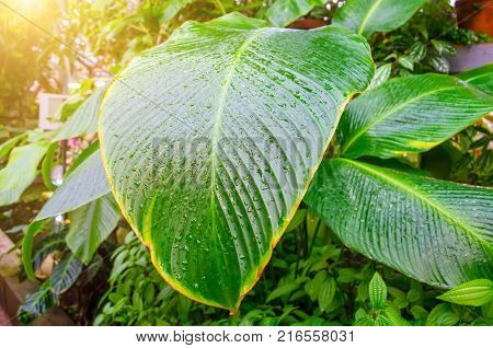 Close up Dumb Cane leaves or Dieffenbachia Calathea- nature background contrast pattern on leaves