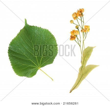 Linden Flowers And Leaves